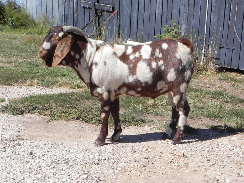 Cane Run Creek's # - Previously Sold Goat Buck