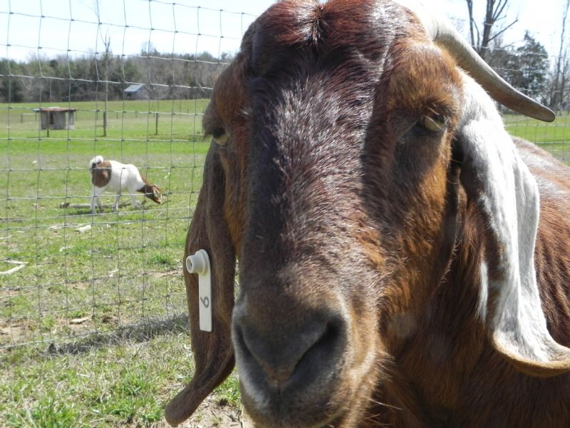 Whispering Pines Starry Night #9W - Boer Goat Doe