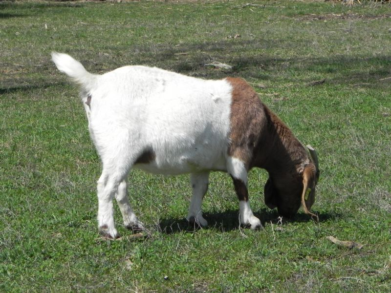 Cane Run Creek's Adamma #46Y - Boer Goat Doe