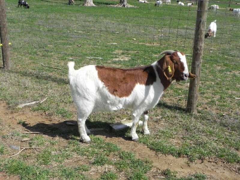 Cane Run Creek's Zenyatta 31YD - Boer Goat Doe