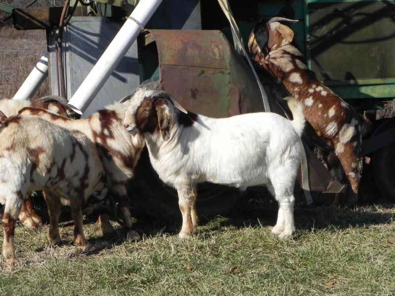 292P SALE PRICE $700! - Previously Sold Goat Buck