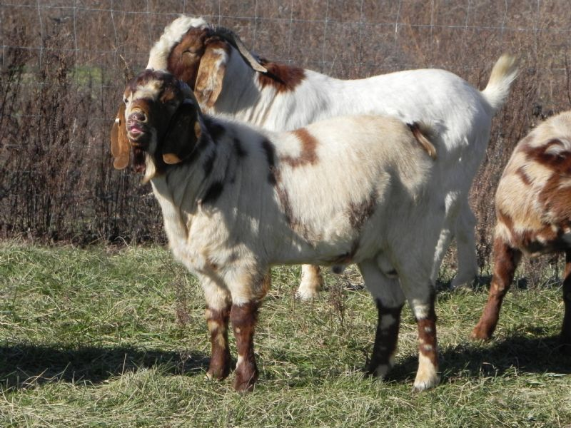 269P SALE PRICE $750! - Boer Goat Buck
