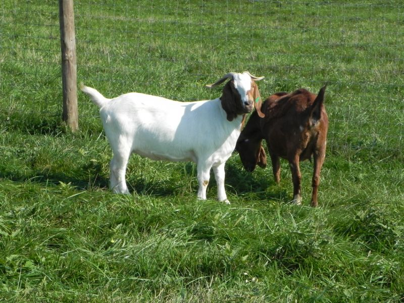 Fullblood Registered Boer Goat Doe #2 W - Boer Goat Doe