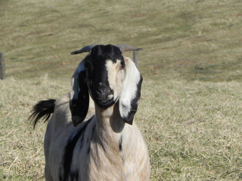 Cane Run Creek's Spots-A-Lot #50   J - Boer Goat Doe