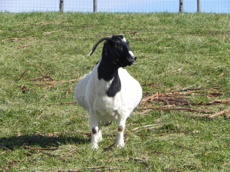 CANE RUN CREEK'S MOON RETURNING #59G - Boer Goat Doe