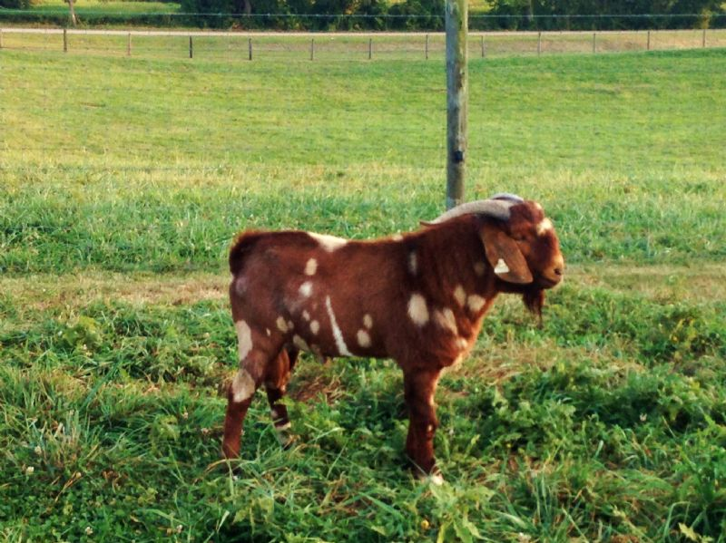 358P ***REDUCED** $850 - Boer Goat Buck