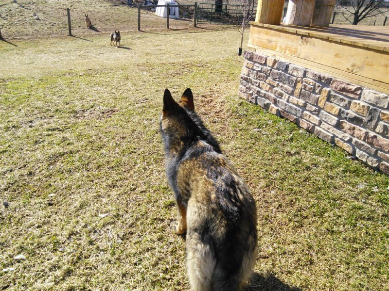 Brutus (AKC Registered German Shepherd)**SOLD** - Previously Sold Dog Puppy
