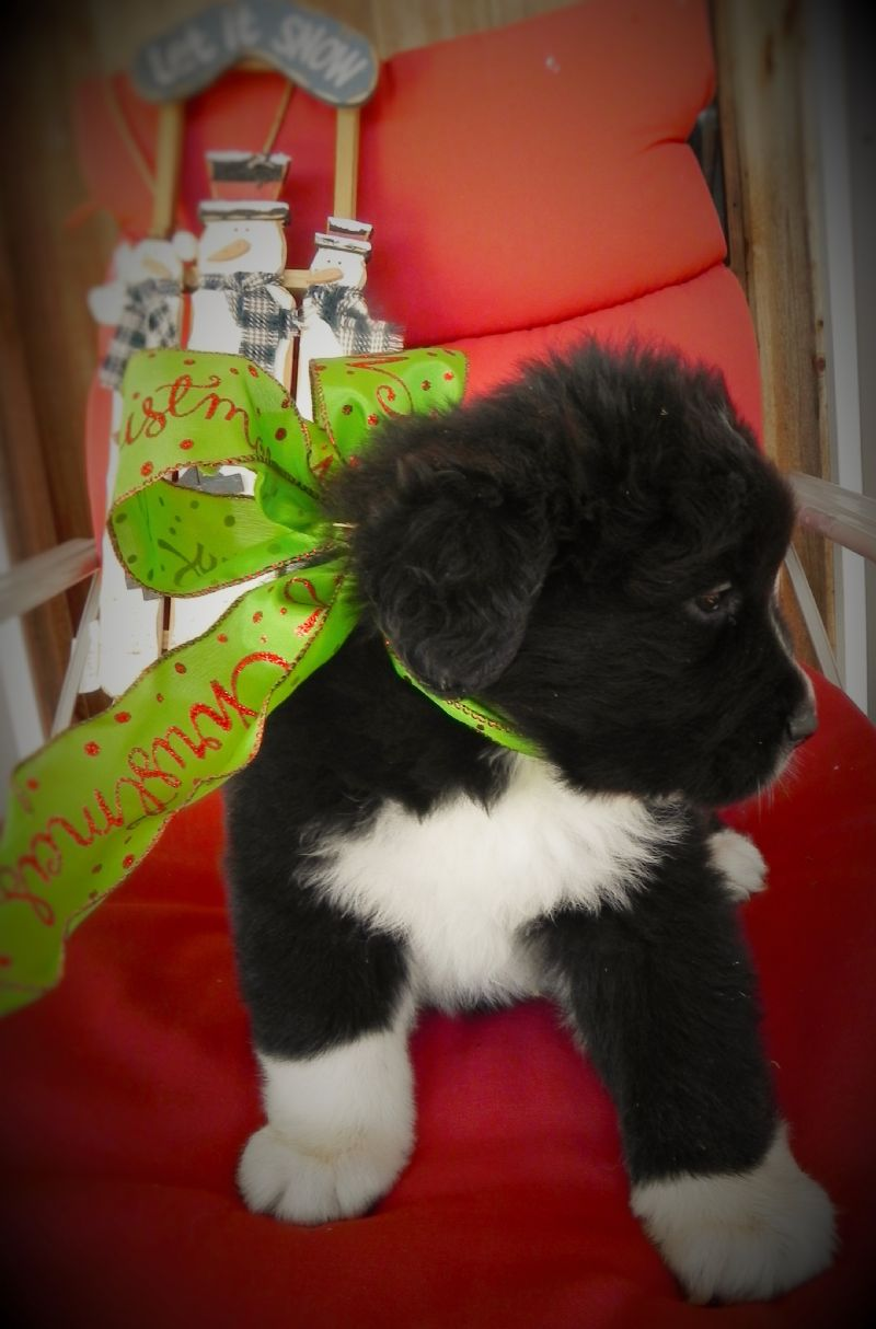 Sofie's puppy #3 Male ***SOLD*** - Previously Sold Dog Puppy