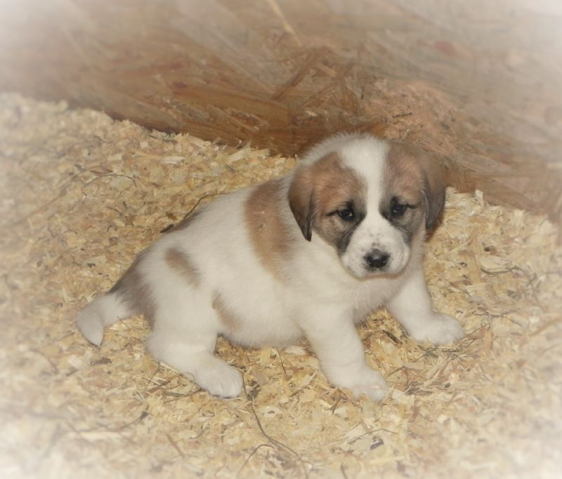 ANNIE'S PUPPY #3 FEMALE**SOLD** Debra W - Previously Sold Dog Puppy
