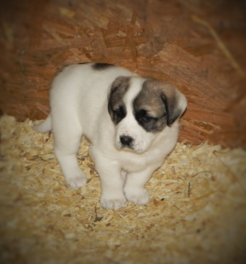 ANNIE'S PUPPY #4 FEMALE***SOLD***LAURA R. - Previously Sold Dog Puppy