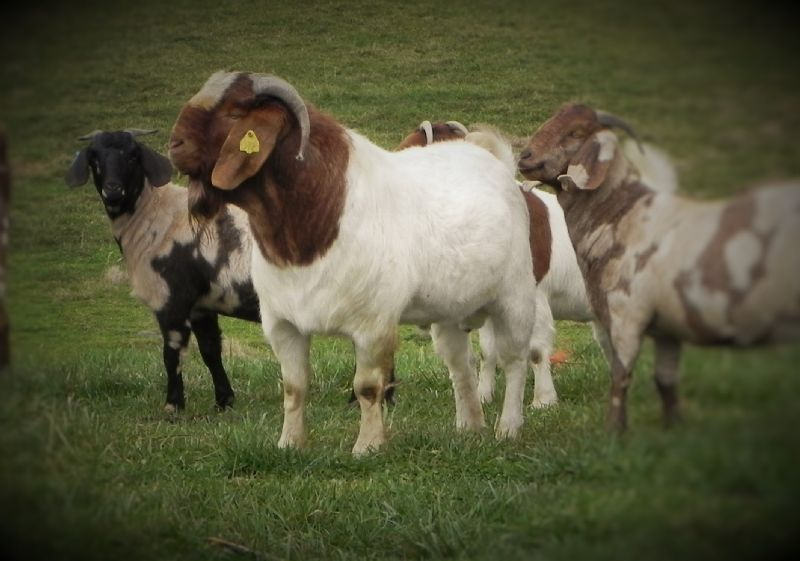 Bear Creek D772 - Boer Goat Buck