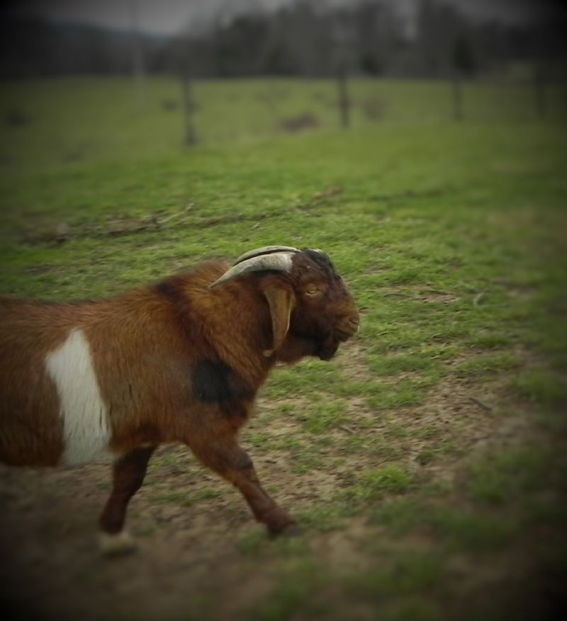 White Banded Buck**REDUCED** $675 - Boer Goat Buck
