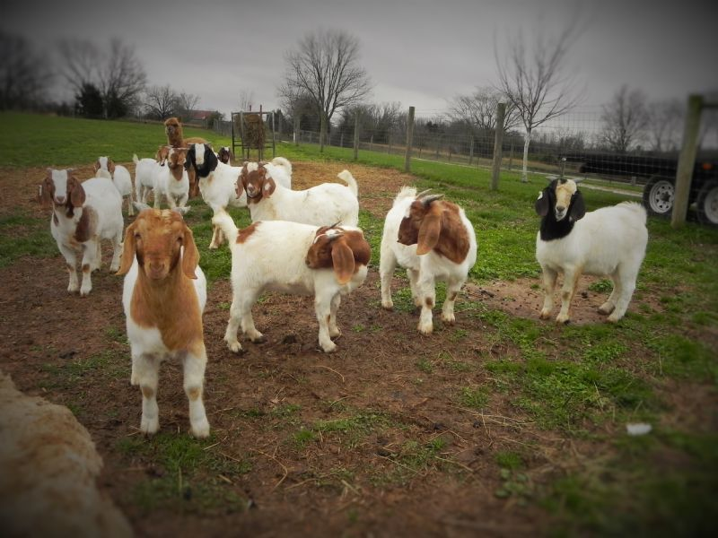 BEAR CREEK D772 OFFSPRING - Boer Goat Buck