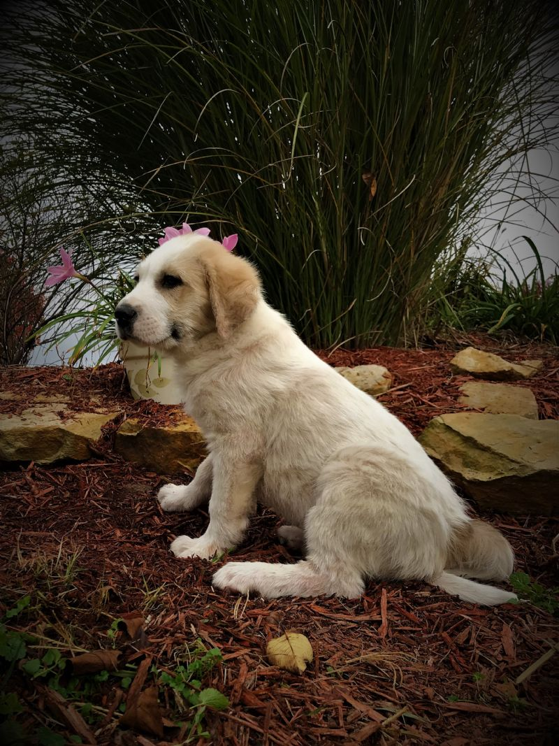 ESTER'S MALE PUPPY #3**SOLD**Judy & Robert M. - Previously Sold Dog Puppy