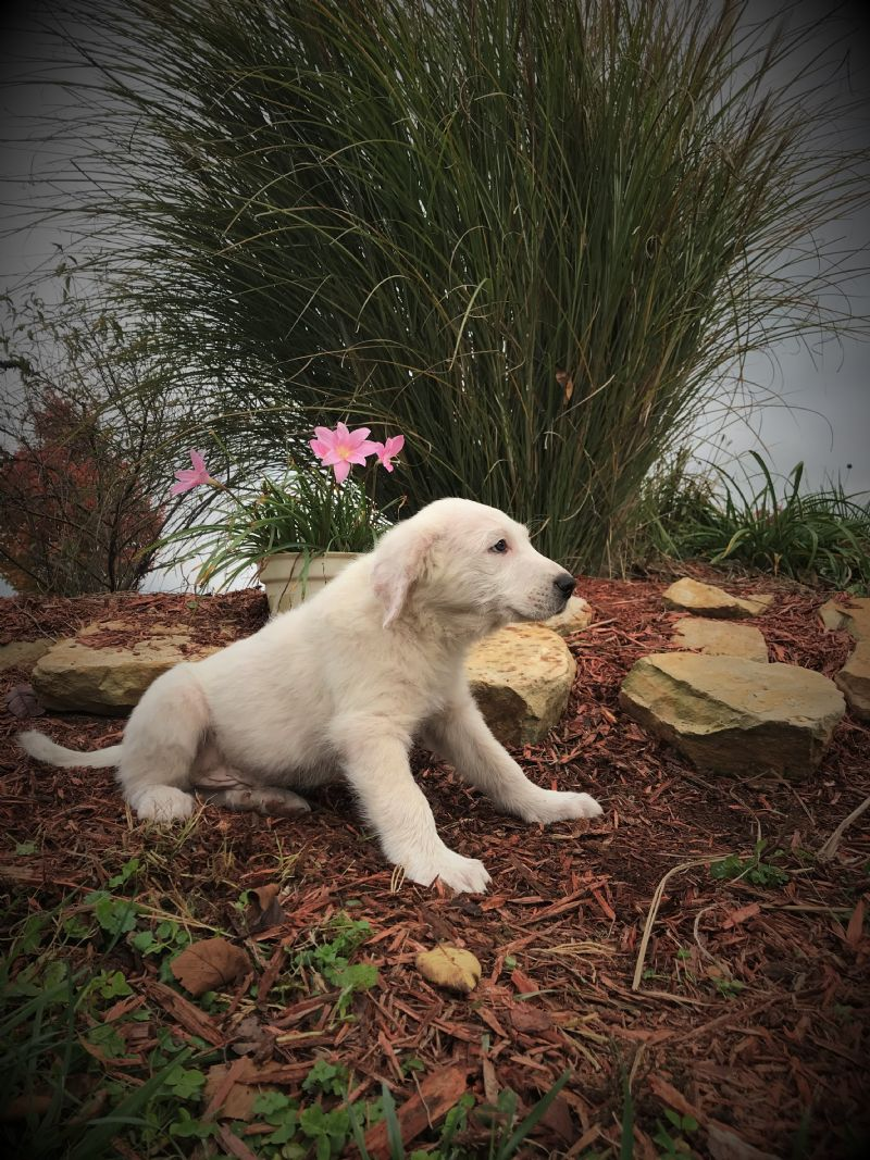 ESTER'S MALE #2 PUPPY***SOLD*** - Guard Dog Puppy