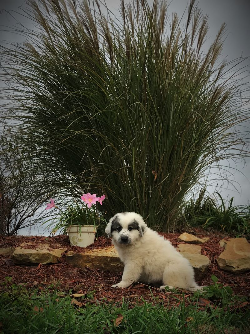 ESTER'S FEMALE #5 PUPPY***SOLD***Sandy S - Guard Dog Puppy