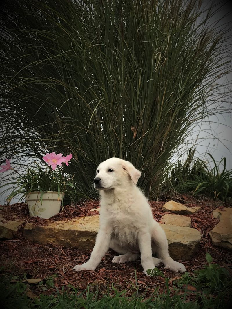 ESTER'S FEMALE #7 PUPPY*AVAILABLE* - Guard Dog Puppy