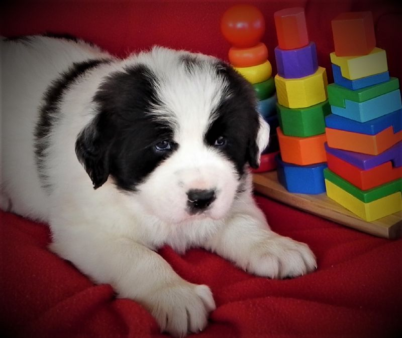 LAYLA'S MALE PUPPY #1**SOLD-Courtenay & Stacey** - Guard Dog Puppy