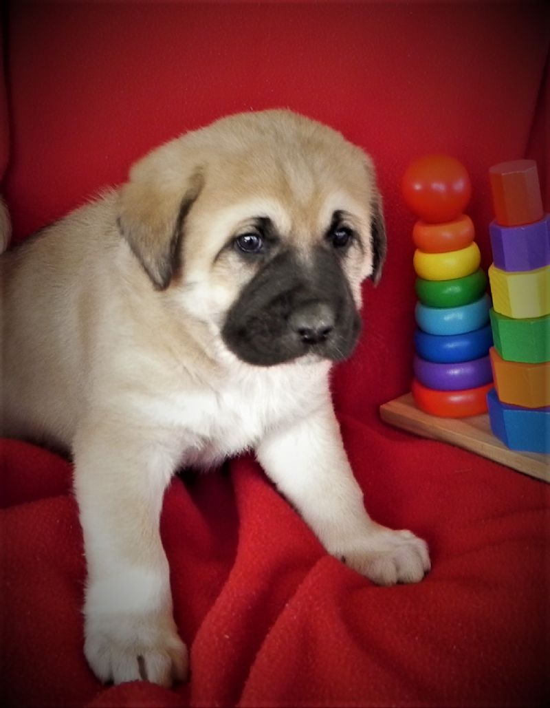 LAYLA'S MALE PUPPY #7**SOLD-Courtenay & Stacey*** - Previously Sold Dog Puppy