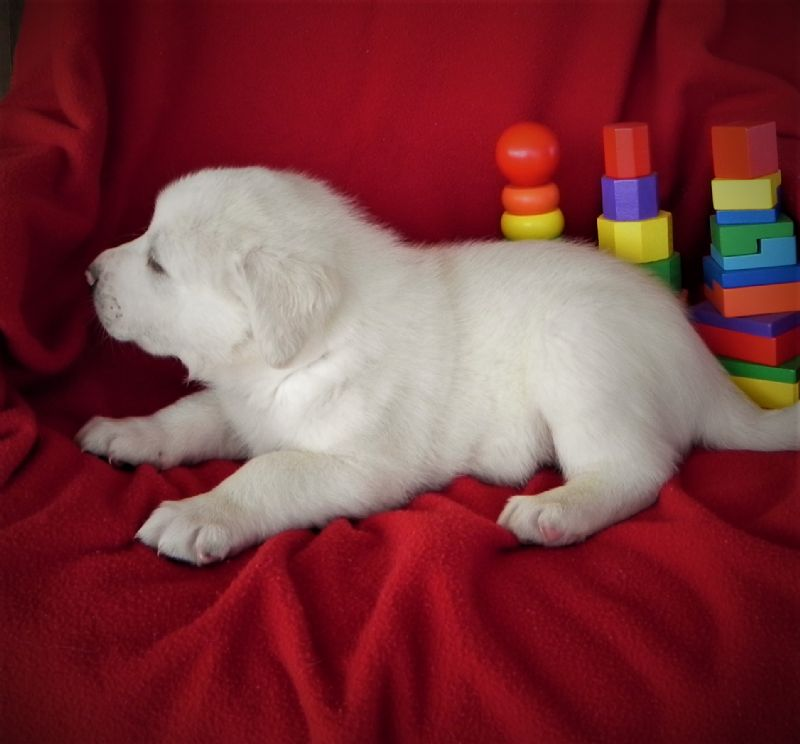 BELLA'S MALE #2**SOLD** LOGAN P. - Guard Dog Puppy