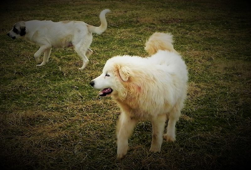 ASA - Great Pyrenees Male