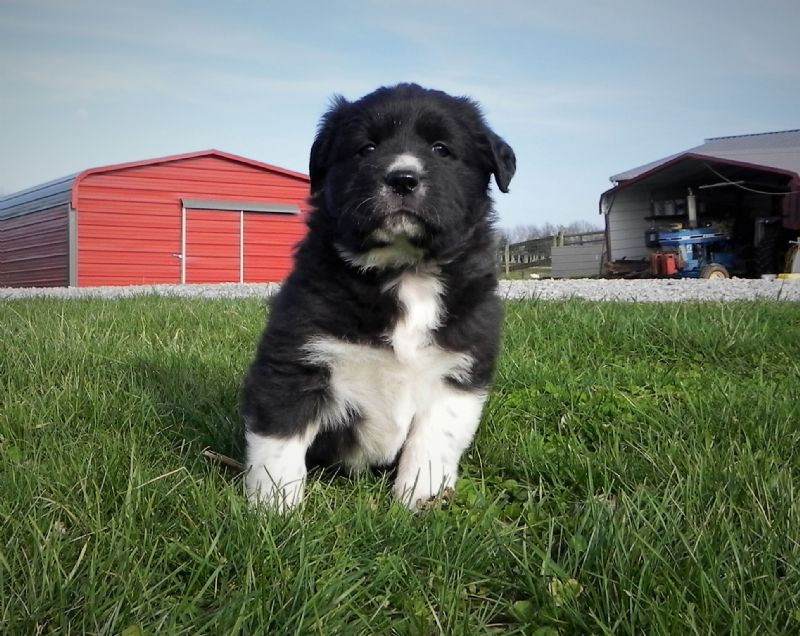 SOFIE'S PUPPY #5 FEMALE ***SOLD*** - Guard Dog Puppy