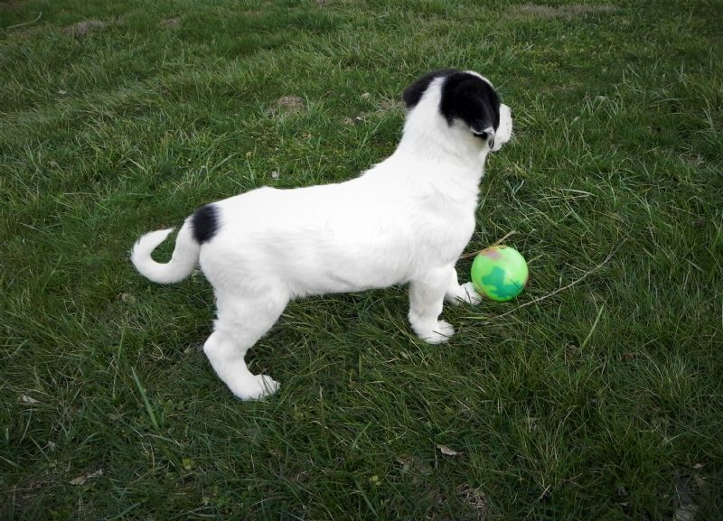 LAYLA'S FEMALE PUPPY #2 ***SOLD**DAVID - Previously Sold Dog Puppy
