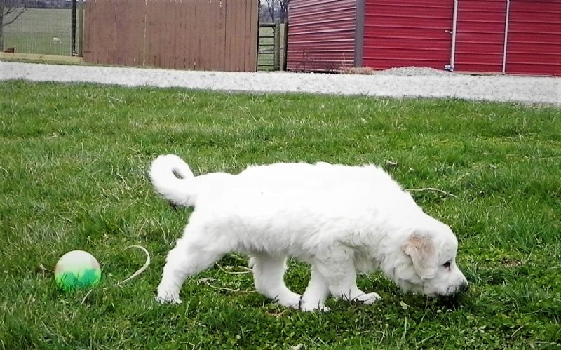 BELLA'S FEMALE #1SOLD KEVIN - Guard Dog Puppy