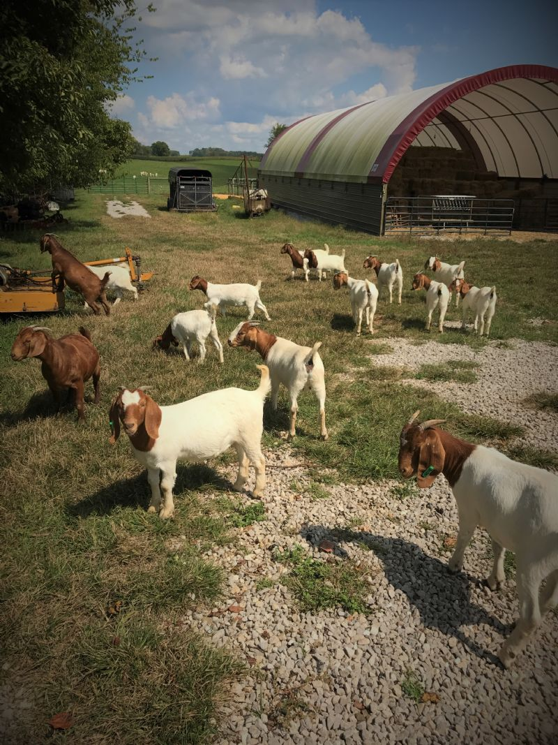 Our 100% Fullblood Boer Doelings For Sale - Boer Goat Doe