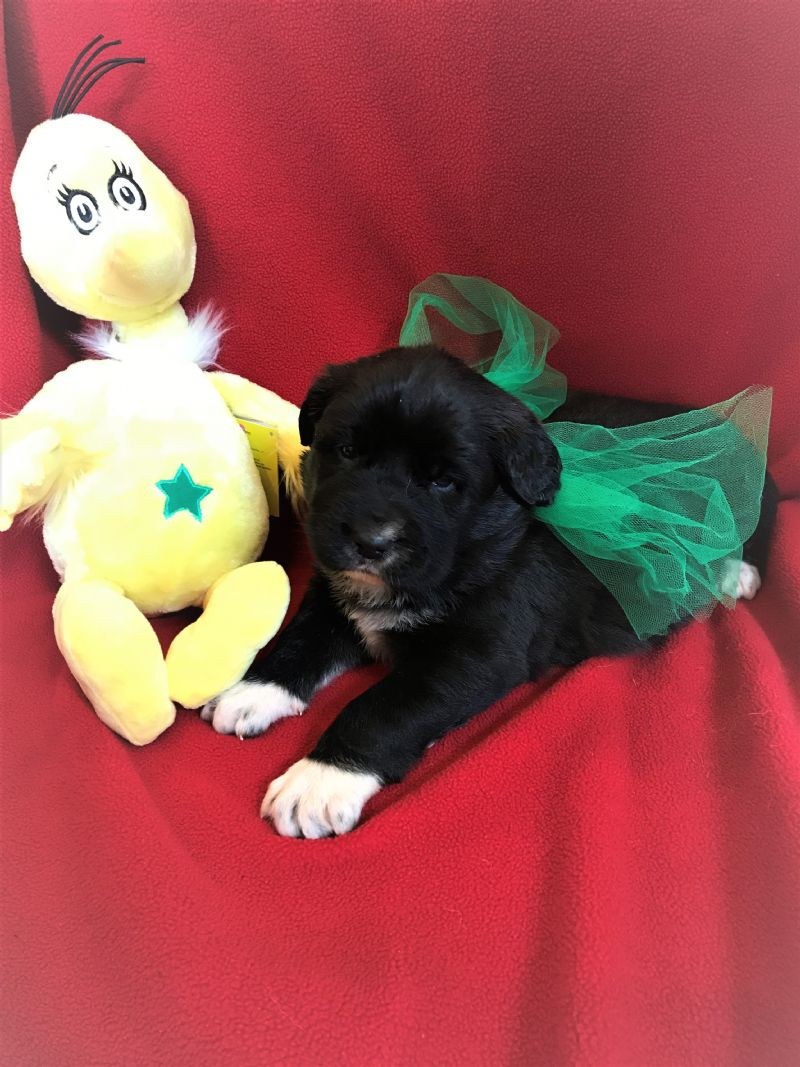 LAYLA & FIDO'S FEMALE PUPPY #3**SOLD***Catherine - Guard Dog Puppy