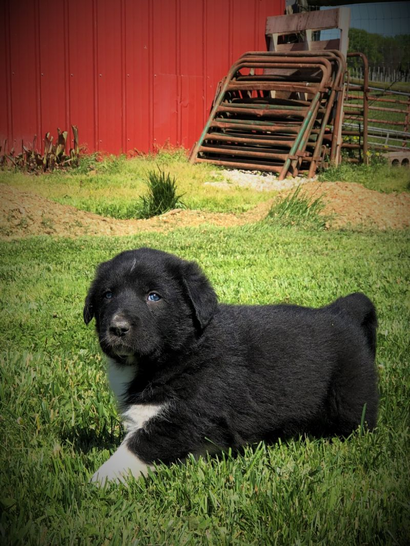 MIA'S #8 MALE***SOLD***JENNIFER T - Guard Dog Puppy