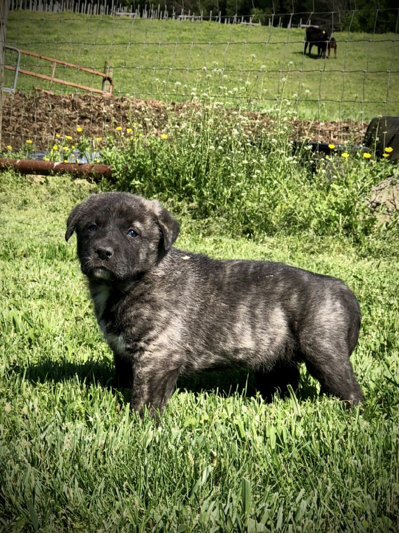 MIA'S #5 FEMALE***SOLD***Michael P. - Guard Dog Puppy