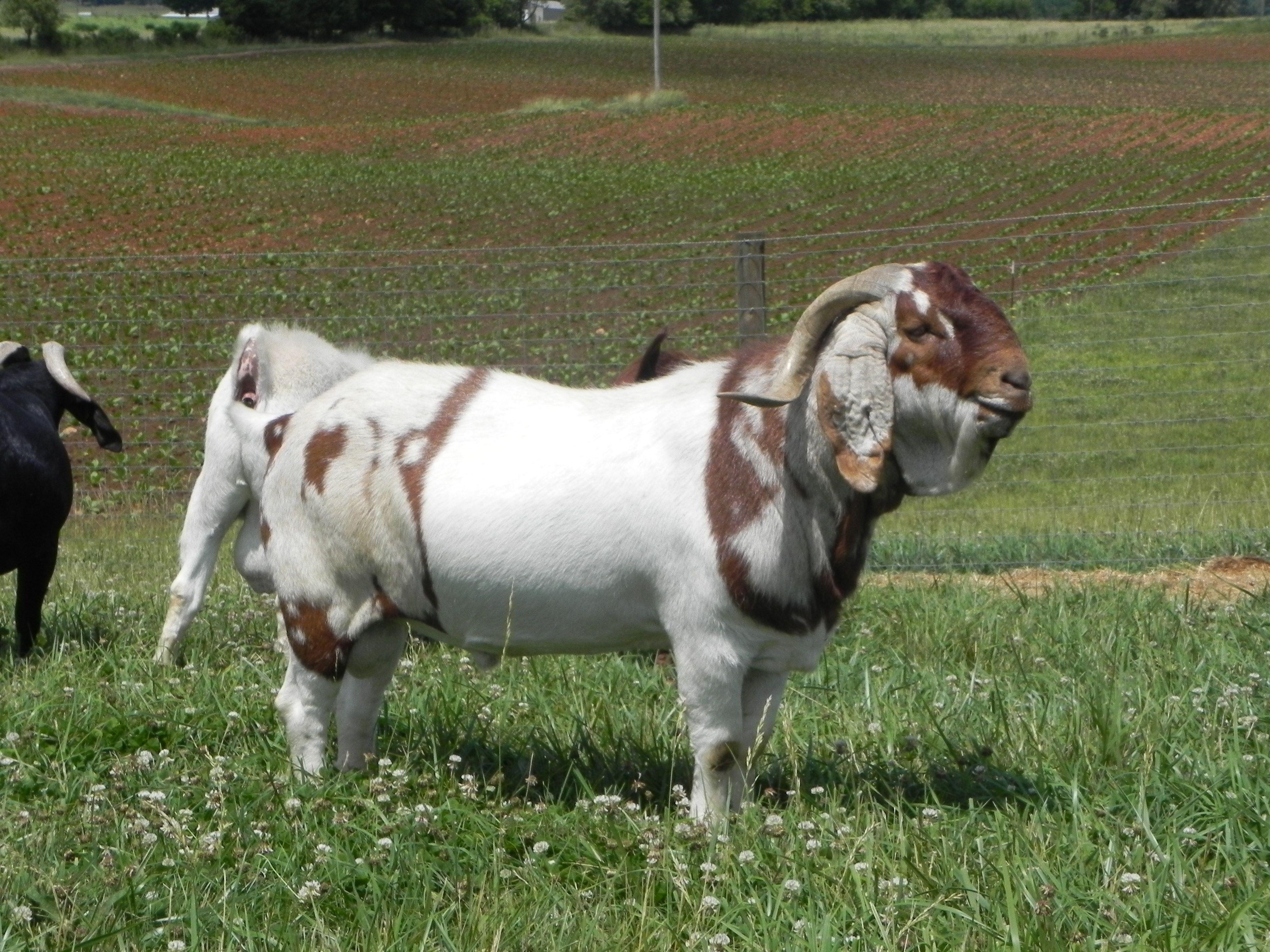 South African Boer Goat Bucks- Boer Goats - photo#16