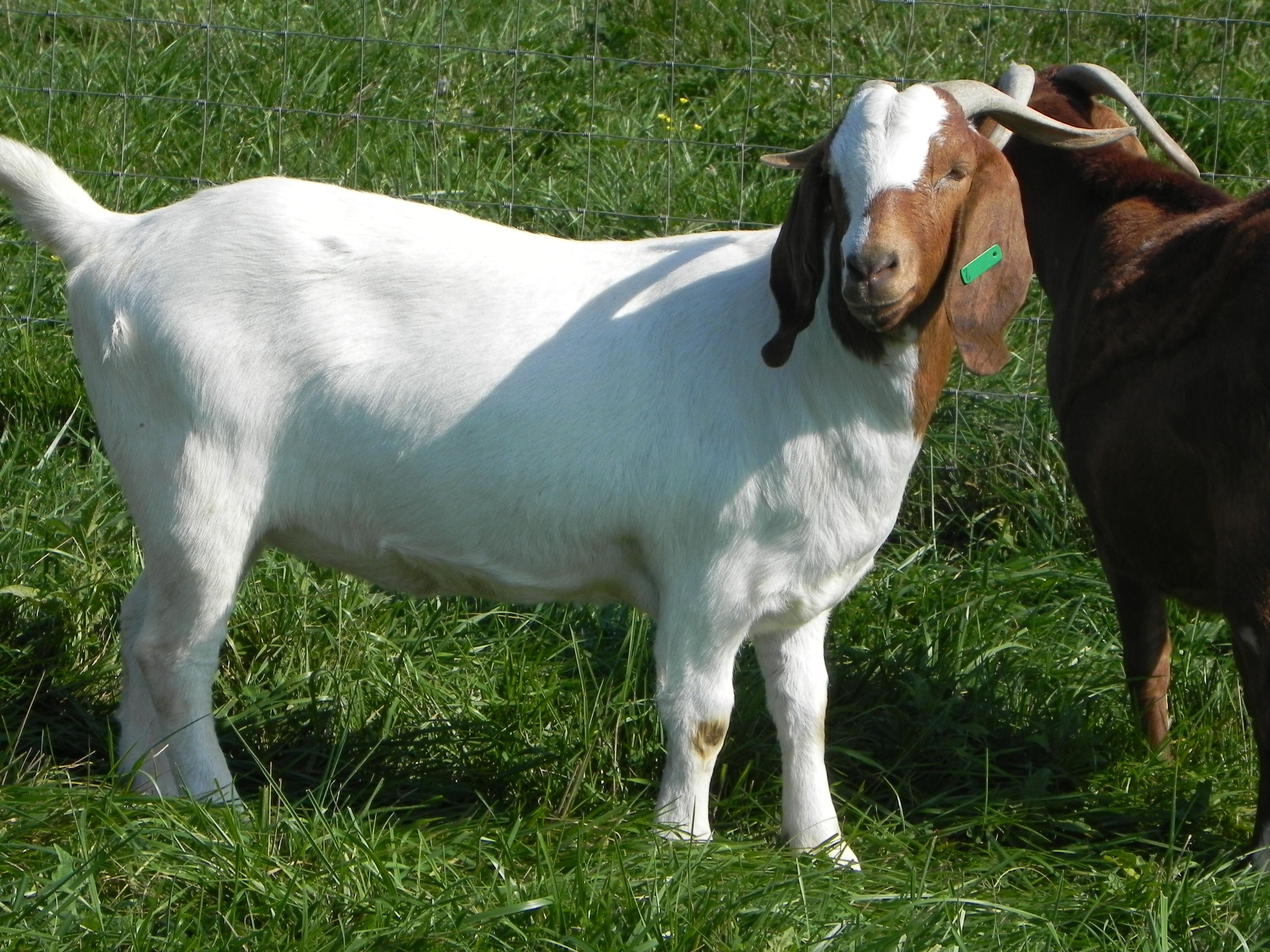 Boer Goat Does For Sale in Kentucky from Cane Run Creek ... - photo#12